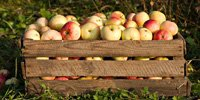 Apples: lower export to Russia