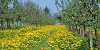 Trzmiele i pszczoły w sadach