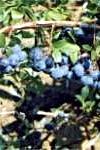 Borówka wysoka Bluecrop