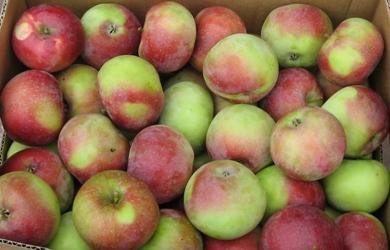 лобо фото яблоко