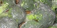 Krajowe brokuły w skupie